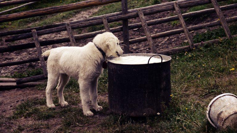 Kan hundar dricka mjölk?