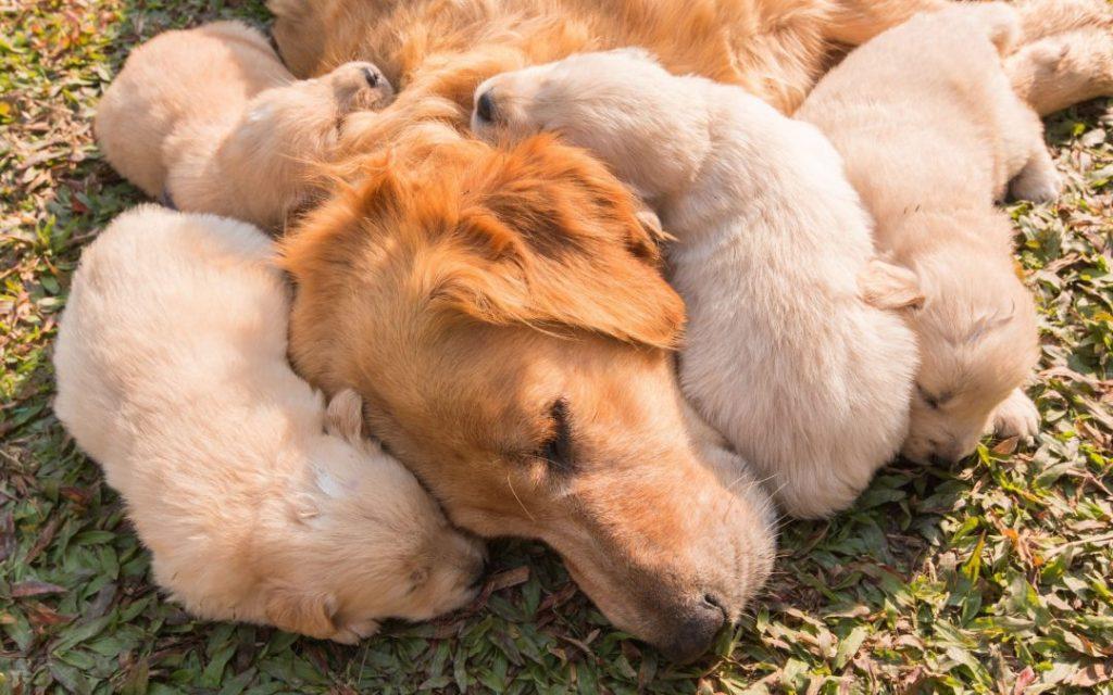 Hur många valpar kan en hund få?