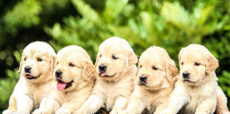 Hur många valpar kan en hund få? (Del 2)