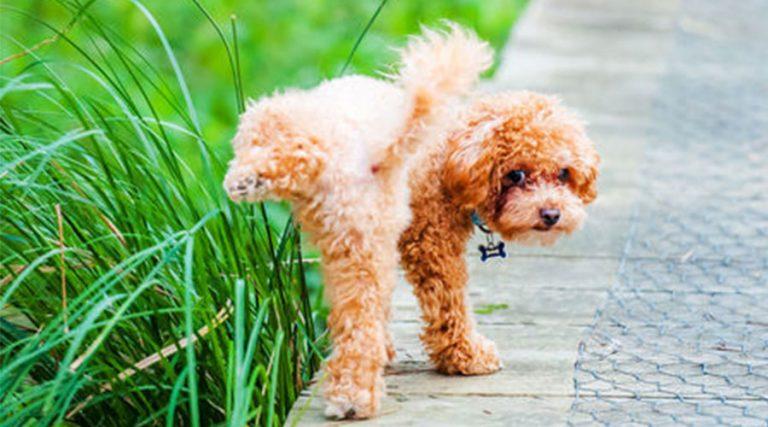 12 positioner en hund kan kissa i och vad de betyder
