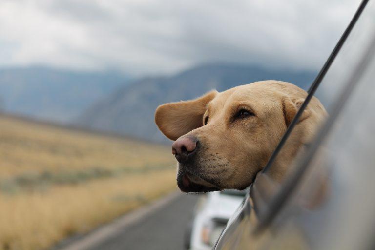 Så reser din hund säkert i bilen
